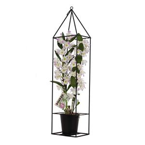 BOTANICLY | Bambou orchidée rose avec cadre | Hauteur: 78 cm | Dendrobium nobile 'Kumiko'