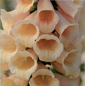 AGROBITS Fleur – Foxglove – Digitalis – F1 Peach – 10 Voir Granulé