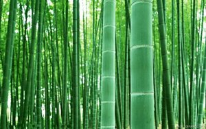 Asklepios-seeds® – 100 graines Phyllostachys pubescens / edulis / heterocycla, bambou d'hiver, Moso