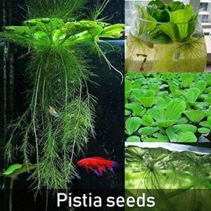 des Graines Seeds 50Pcs Dichondra Pistia Étang De Jardin De Plantes Aquatiques Aquarium Piscine Décoration – Graine Pistia