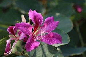 GEOPONICS 1 Plant: Bauhinia Tree Live Rooted Potted 6-10 Inch Tall 6-12 Months Old from Seed