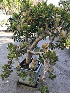 GEOPONICS 4 Cuttings (Baby Jade) Hardy Succulent Plant