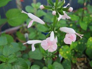 Portal Cool Noix de Coco Ice'-Bicolorwhite/Fleurs roses-15 »Salvia Coccinea graines