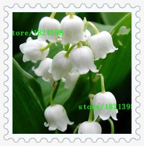 100 pcs Lily de la vallée de graines de fleurs, graines cloche d'orchidées, riche arôme, bonsaï semences de fleurs, mignon et facile à planter