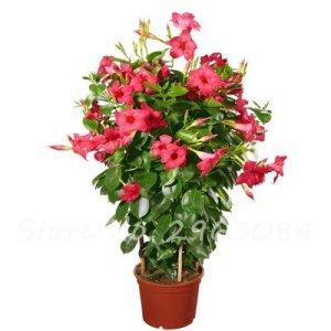 50 Pcs / sac Rare Dipladenia Sanderi Graines vivaces Escalade Bonsai Mandevilla Sanderi fleurs ornementales d'extérieur Jardin Plante 14