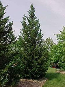 GEOPONICS 25 graines de BM66 Juniper Juniperus
