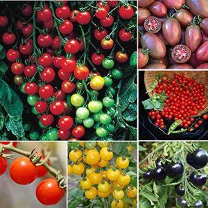 Cioler Seed House – 50 Pièces de Tomates Cerises Biologiques Graines Mini Tomates Prunes Viande Tomates Légumes Fruits Graines Vivaces Hardy pour Jardin Balcon/Patio
