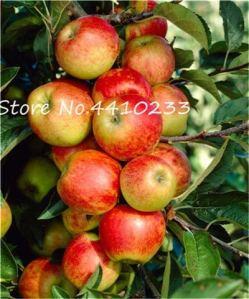 Kalash Nouveau 30 Pcs Apple fruit SEED pour jardinage Rouge 3