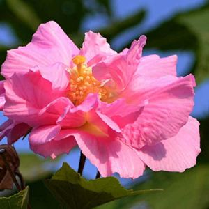 Luo-401XX 50 Pcs Hibiscus Fleur Graines, Belle Facile Cultiver Vivaces Balcon Bonsaï Pour La Maison Jardin Jardin Décoration Graines d'Hibiscus