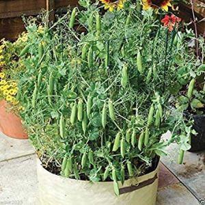 Petsdelite® 30 graines: Pois de coquillage nain Tom Thumb' Excellent pour les pots 6-8Ã ' Heirloom (ouvert pollinisé) (30 graines)