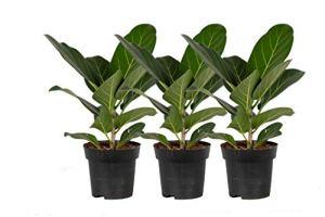Plantes d'intérieur de Botanicly – 3 × Figuier des banians – Hauteur: 25 cm – Ficus Benghalensis Audrey