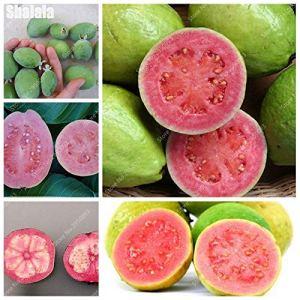 SVI frais 10 pcs graines Goyave fruits destinés à la plantation multi-couleurs