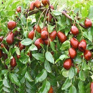 SVI frais 20pcs géant graines de fruits doux Jujube pour la plantation Rouge 1