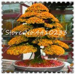 AGROBITS sacré Cèdre du Japon Bonsai Evergreen Deodara intérieur Potted Service Pack 20 pièces: c