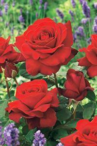 Lot de 2 : Rosier buisson La Magie du parfum (Duftzauber 84)