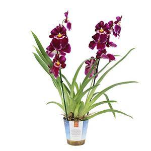 Miltonia Red Tide | Orchidée violette | Hauteur 45-50cm | Pot de Ø 12cm