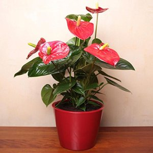 Anthurium Rouge 1 plant bleu
