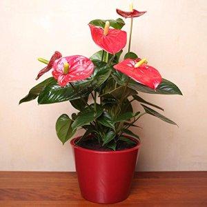 Anthurium Rouge 1 plant bleu