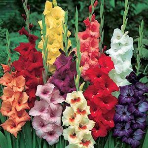 Bulbes de fleurs de haute qualité pour la floraison PRINTEMPS – ÉTÉ – AUTOMNE (25, HAUTE GLADIOLES EN MÉLANGE)