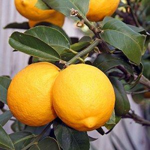 Citrus meyeri greffé compact – Citronnier de Meyer