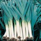 Porree Démêloir bio pour l'hiver Bleu/vert