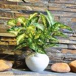 SwansGreen Lot de 50 graines de fleurs de calathea Thaïlande très rares, plantes de paon, faible lumière, haute humidité, faciles à cultiver