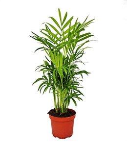 Chamaedorea elegans – salle Palm – montagne Palm