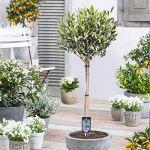 Olea Europeana | Olivier | Arbre fruitier | Hauteur 70-75cm | Pot Ø 18cm