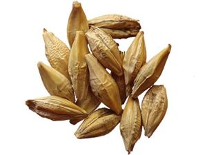 Orge du Finistère – 100 grammes – Hordeum Vulgare – Barley – (Engrais Vert – Green Manure) – SEM01