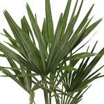 Trachycarpus fortunei | Palmier de Chine | Plante d'extérieur | Hauteur 130-140cm | Pot Ø 27cm