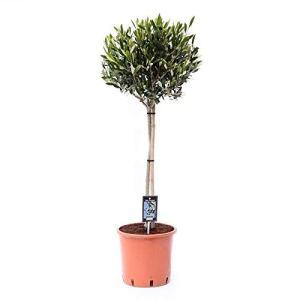 Arbre de Botanicly – Olive à spirale – Hauteur: 90 cm – Olea Europaea