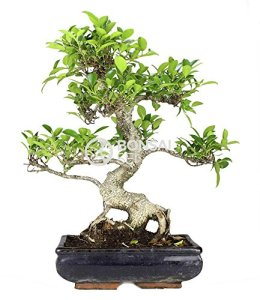 Bonsai – Ficus, 10 ans (Bonsai Sei – Ficus Retusa)