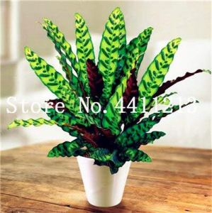 Generic Fresh 50 Pcs Calathea leaf plant SEED for planting Mixed color 1