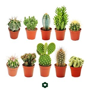 Set of 10 different cactus 5,5cm pot – approx. 8-15cm