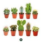 Set of 10 different cactus 5,5cm pot – approx. 8-15cm