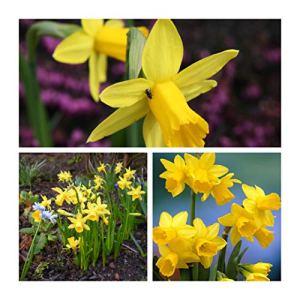 Humphreys Garden Narcisse Tete a Tete x 50 Bulbes Bulbs
