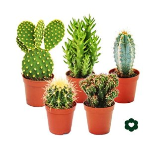 5 different Cactus – small collection – 5,5cm