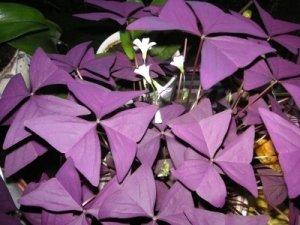 5x Oxalis triangularis Purpurea Fleurs Taille Ampoules. Disponible maintenant.