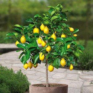 Citronnier Standard /Citronnier sur tige – 1 arbre