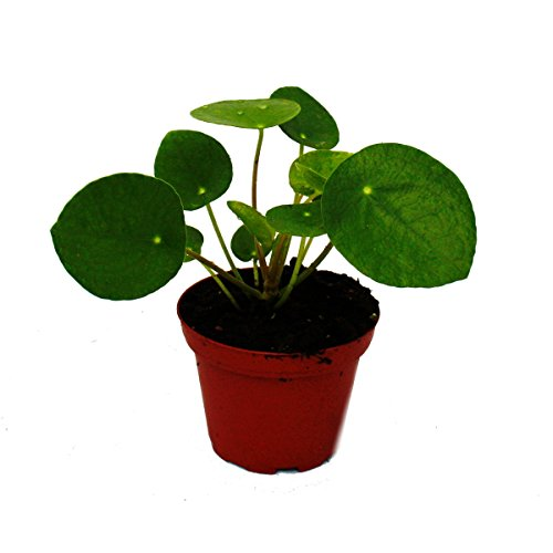 Mini – Pilea peperomioides – Chinese money tree – belly button plant in 5.5cm pot