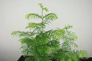 10 Pcs Aube Forêt de séquoia Bonsai Seeds – Bonsai Tree – Metasequoia glyptostroboides