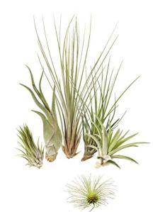 5 différentes Tillandsia Mix plus 1 extra, plantes d'intérieur