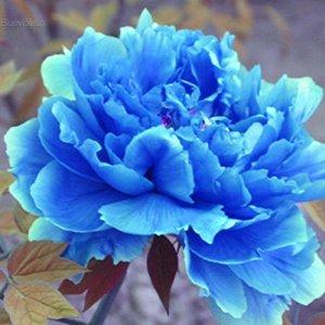5 pcs/ Sac Graines Semences de Fleurs Pivoine de Chine, Fleurs Seed Plantes Vivaces Arbres à fleurs Plante Rare Bonsaï de Jardin Balcon