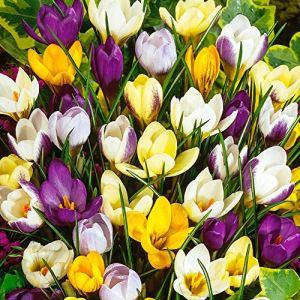 50x Crocus chrysanthus | Mélange de bulbes de crocus violet-jaune-blanc | Bulbes à floraison précoce | Plantes fleuries vivaces | Ø 5-7 cm