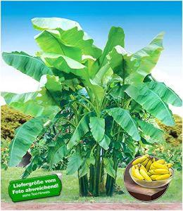 baldur'de jardin d'hiver dure banane 'vert', 1?plante, MUSA basjoo