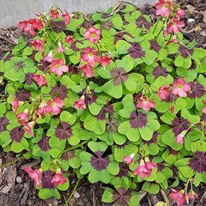 Bulbes de fleurs de haute qualité pour la floraison PRINTEMPS – ÉTÉ – AUTOMNE (30, Oxalis IRON CROSS (Quatrefoil))