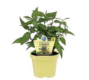 Coriandre vietnamien bio (polygonum odoratum), plantes herbes issues de culture durable 1 Pflanze im 12cm Topf