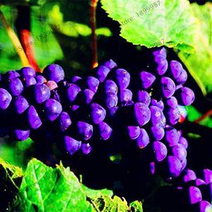 Generic Fresh 60pcs graines de raisin pour la plantation violet foncé