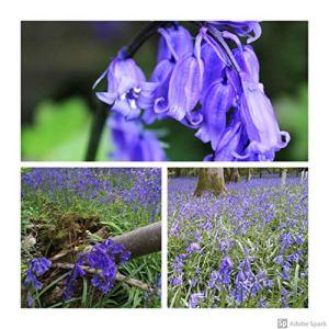 Humphreys Garden Cultivated English Bluebell Jacinthe des bois x 100 Bulbs Bulbes Size 6/7