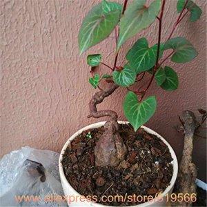 Immobilier chinois Black Bean Polygonum multiflorum Seeds Il Shou Wu intérieur Plantes Bonsai Garden Herbal Fo-Ti Sementes
